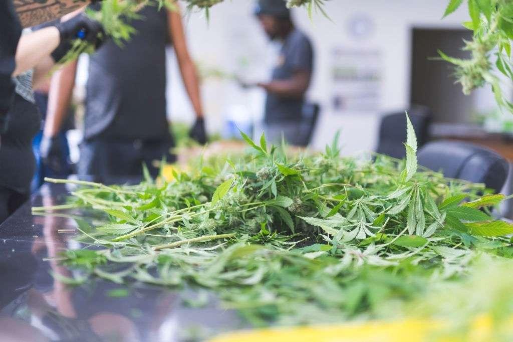 Cannabis Cultivation Tax